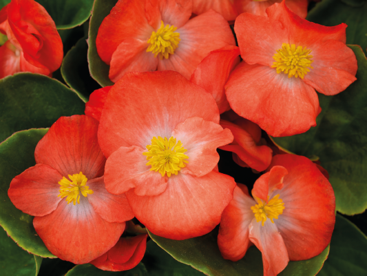 Begonia                                       semperflorens F₁                                       Sprint Plus                                       Orange