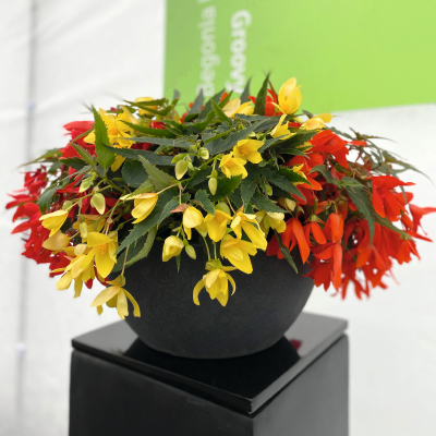Begonia                                       boliviensis F₁                                       Groovy                                       Mix