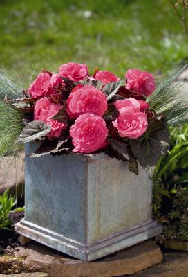 Begonia                                       tuberhybrida F₁                                       Nonstop® Mocca                                       Pink Shades