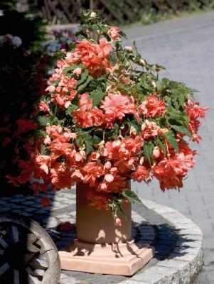 Begonia                                       tuberhybrida F₁                                       Illumination®                                       Salmon Pink