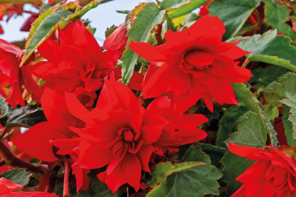 Begonia                                       x hybrida F₁                                       Funky®                                       Scarlet