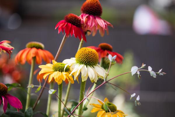 Echinacea                                       purpurea                                       PollyNation                                       Mix