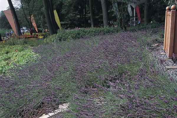 Lavandula                                       angustifolia                                       Munstead                                       Variety