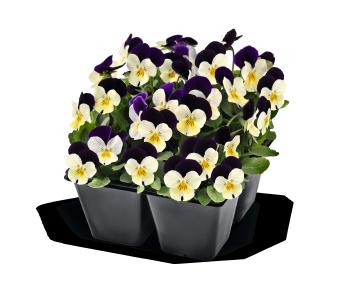 Viola                                       cornuta F₁                                       Admire®                                       White Purple Wing