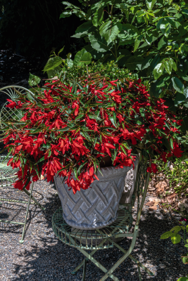 Begonia                                       boliviensis F₁                                       Groovy                                       Red