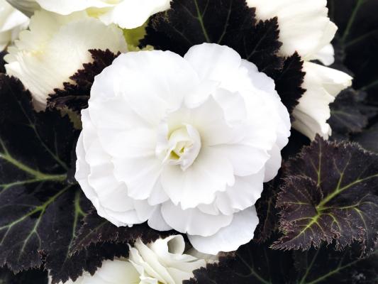 Begonia                                       tuberhybrida F₁                                       Nonstop® Mocca                                       White