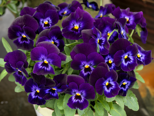 Viola                                       cornuta F₁                                       Admire®                                       Denim