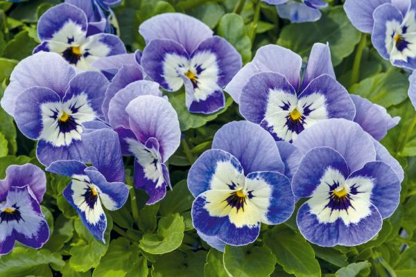 Viola                                       cornuta F₁                                       Admire®                                       Marina