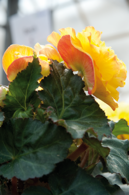 Begonia                                       tuberhybrida F₁                                       Nonstop®                                       Yellow Red Back