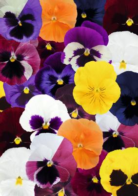 Viola                                       wittrockiana F₁                                       Inspire® DeluXXe