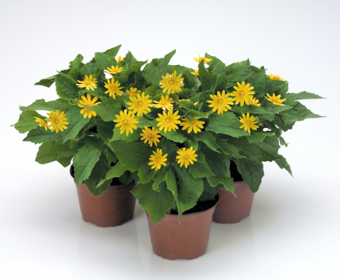 Melampodium                                       paludosum                                       Golden Globe