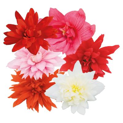 Begonia                                       x hybrida F₁                                       Funky®